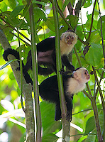 White-faced monkeys (or capuchins), one of Costa Rica's four monkey species.
