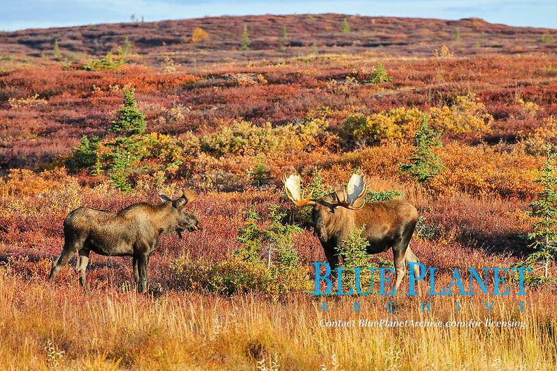 Moose (Alces alces) during rut, Denali National Park, Alaska