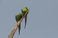 Rose-ringed Parakeets in Ranthambhore Tiger Reserve, Rajasthan, India
