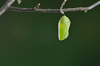 Monarch (Danaus plexippus), caterpillar pupating, series, Hill Country, Central Texas, USA