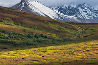Bull caribou on the autumn colored tundra in Sable Pass, Denali National Park, Interior, Alaska.