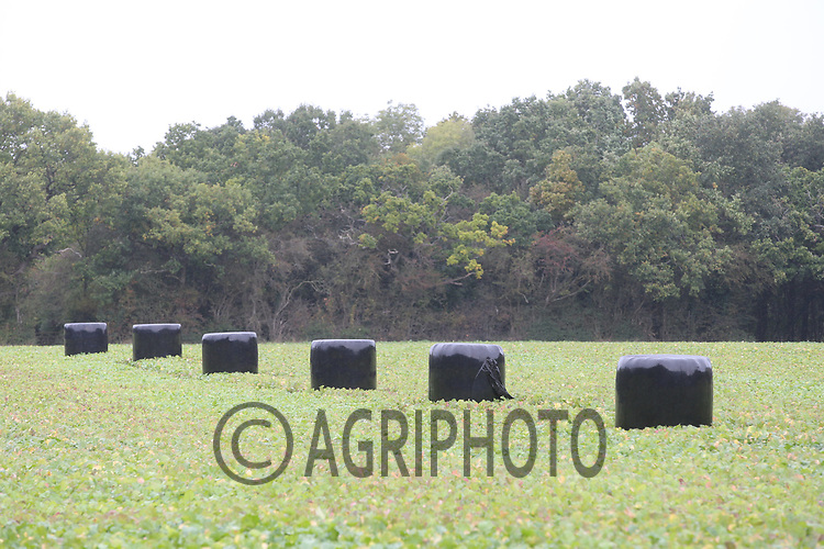 30.9.2020 Bales of wrapped silage laid out on fodder rape ready for feed stock<br /> ©Tim Scrivener Photographer 07850 303986<br />      ....Covering Agriculture In The