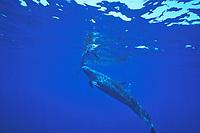 false killer whale hunting sailfish, Pseudorca crassidens hunting Istiophorus platypterus, Andaman Sea, Thailand