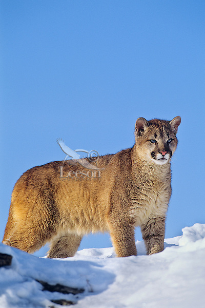 Mountain lion, cougar, or puma (Puma concolor). Winter.  Western U.S.