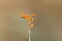 304570002c a wild mexican amberwing dragonfly perithemis intesa perches on a dead flower near el centro imperail county california united states