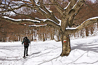 Walker on snow shoes passes a large beech tree bearing the signs for the GR93, one of France?s long distance footpaths.  Chironne, Col de Rousset, Vercors Plateau. Diois, Drome, Rhone-Alpes, France..Model released.