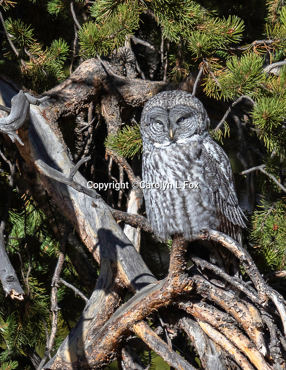 It was fun to find Great Gray Owls in Yellowstone.