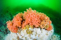 sea strawberry, Gersemia rubiformis, Vancouver Island, British Columbia, Canada, Pacific Ocean