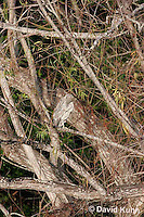 0117-08oo  Resting with Head Tucked in, Juvenile Black-crowned Night Heron - Nycticorax nycticorax © David Kuhn/Dwight Kuhn Photography