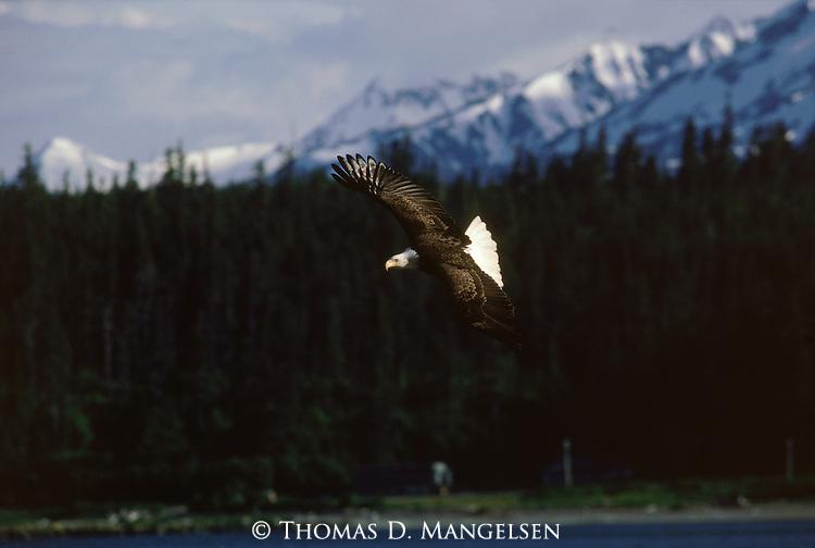 A bald eagle flies along a coastal ridge in Southeast Alaska.