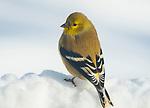 American Goldfinch in winter.