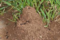 Ameisennest, Ameisen-Nest, Nest der Ernteameise, Getreideameise, Körnersammler, Messor spec, harvester ant, Ernteameisen, Getreideameisen