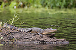 Damon, Texas; a juvenile American alligator sunning itself on a submerged tree trunk in the middle of the slough