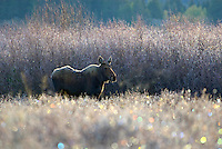 Cow Moose (Alces alces) on frosty morning, Western U.S., fall.