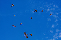 Cliff Swallow (Hirundo pyrrhonota), flock in flight, Rio Grande Valley, South Texas, USA