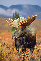 Large bull moose, tundra, Denali National Park, Alaska