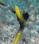 Blue Throat Pike Blenny, Chaenopsis ocellata, Tube Blenny, Mating Behavior, Blue Heron Bridge, Lake Worth Inlet, Florida, USA,North Atlantic Ocean, Marine behavior, 4-4-14-134r