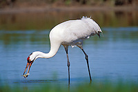 Whooping Crane (Grus americana) catching blue crab in salt marsh, Aransas NWR, Texas.