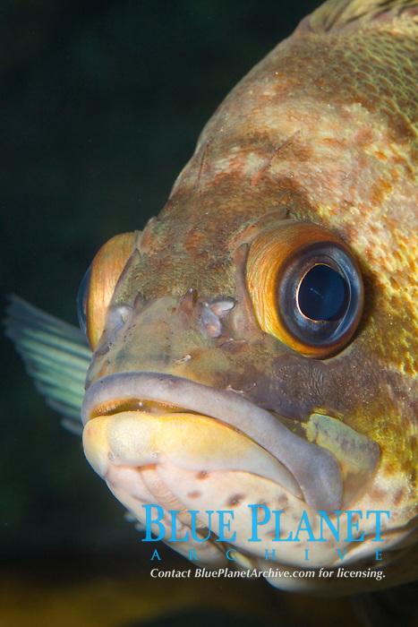 Quillback Rockfish (Sebastes maliger) (c) Pacific Ocean