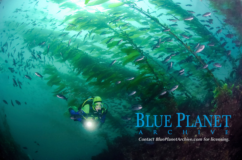 Scuba diver swimming in kelp, Macrocystis pyrifera, with blacksmith, Chromis punctipinnis, Anacapa Island, Channel Islands, California, USA, Pacific Ocean, MR