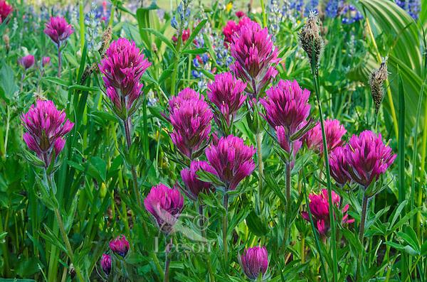 Magenta Paintbrush (Castilleja parviflora).  Washington Cascade Mountains.  Summer.