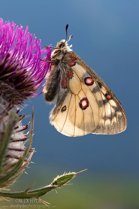 Small Apollo butterfly {Parnassius phoebus} resting on thistle head in alpine meadow. Nordtirol, Tirol, Austrian Alps, Austria, August.