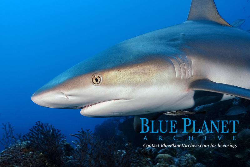 Gray reef shark, Carcharhinus perezii, up close on reef, Little Bahama Bank, Bahama Islands, Bahamas, Caribbean, Atlantic