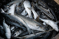 Collection of freshly caught mullet before being transported to the warehouse for the extraction of eggs - Cabras, Sardinia.