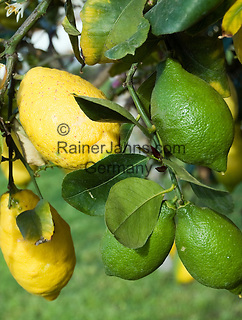 Italy, Calabria: lemon tree, green and yellow fruit
