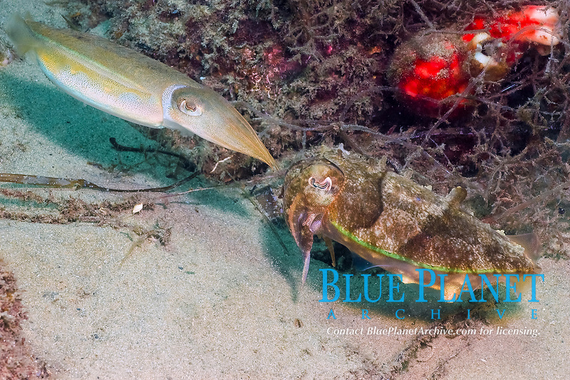 Mourning Cuttlefish, Sepia plangon, mating behaviour foreplay, endemic, Seaway, Gold Coast, Queensland, Australia, South Pacific Ocean