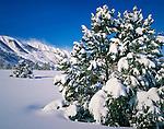Fresh snow on the Pinyon Pine Trees and Eastern Sierra Nevada Mountains, Mono County, California
