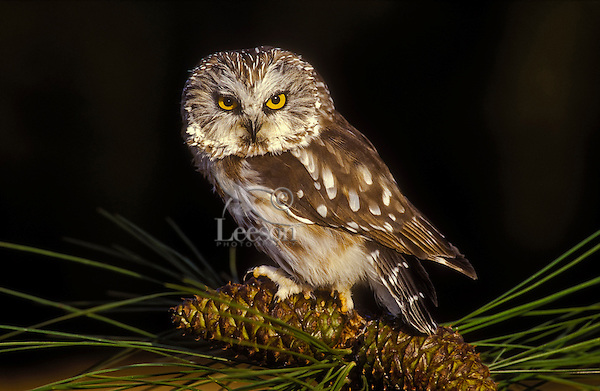 Northern Saw-Whet Owl (Aegolius acadicus) in pine tree, summer, Rocky Mountains, North America.