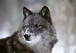 Grey wolf portrait, Montana