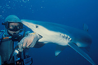 scuba diver in chain mail suit uses bait to tempt blue shark to bite, Prionace glauca, California, USA, Pacific Ocean