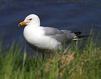 Ring-billed gull in breeding plumage