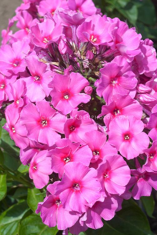 Garden Phlox pink with red eyes, believe Volcano Barthirtyfour
