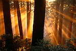 Sun rays in Redwood National Park, California