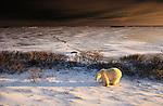 Polar Bear, Churchill, Manitoba<br /> <br /> Canon EOS-3, Canon EF 17-35mm lens, f/16 at 1/15 second, Fujichrome Velvia film