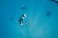 manta researcher Guy Stevens takes photos of unique individual markings ( belly spots ) used to identify reef manta rays, Mobula alfredi, that are feeding on plankton in Hanifaru Bay, Baa Atoll, Maldives, Indian Ocean