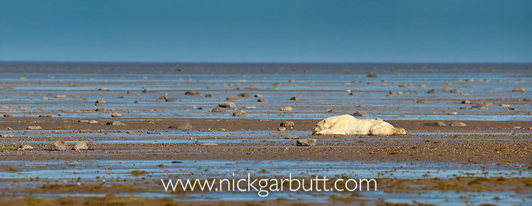 Adult Polar Bear (Ursus maritimus) lying in water at low tide to cool off. Shores of Hudson Bay, Canada in late September.