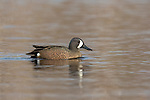 Drake blue-winged teal