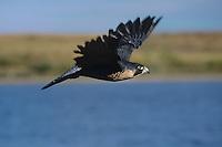 527950036 a captive falconers bird a peregrine falcon falco peregrinus flies above a small lake in colorado