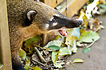 Iguazu falls as seen from the province of Misiones, Argentina.  Coati in the park.