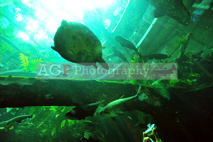 Dec. 30, 2009 - San Francisco, California, USA - Fish and turtles swim in a giant aquarium at the California California Academy of Sciences Natural History Museum in San Francisco Wednesday December 30, 2009. Visitors can view the fish from a glass tunnel below the aquarium. (Photo by Alan Greth)