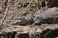 American Crocodile, Usumacinta RIver, Guatemala-Mexico border