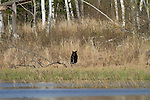 Black bear in spring