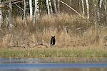 Black bear in spring