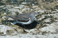 Common Sandpiper, Actitis hypoleucos, adult, Scrivia River, Italy, May 1997