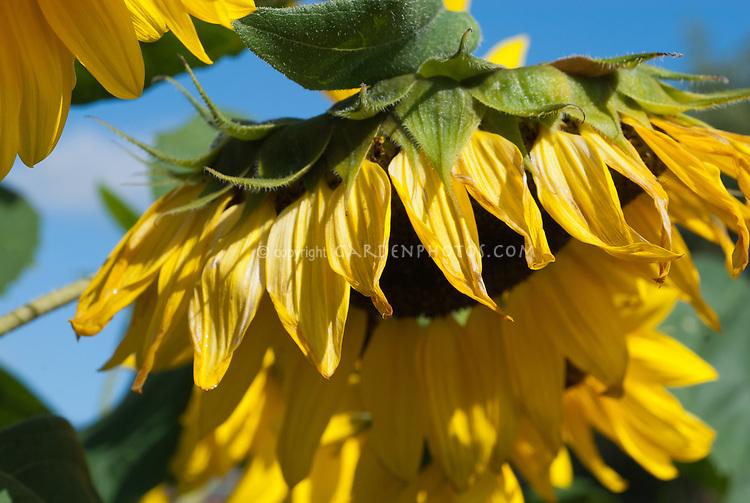 Helianthus sunflower