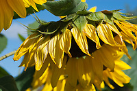 Helianthus sunflower